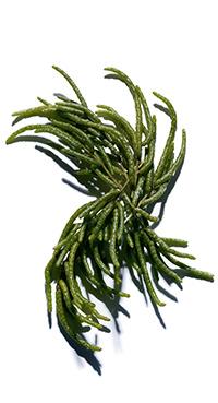 Salicorne bio