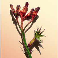 Fleur kangourou
