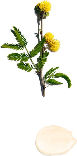 Fleur de cassie