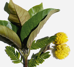 Harungana bio et fleur de cassie