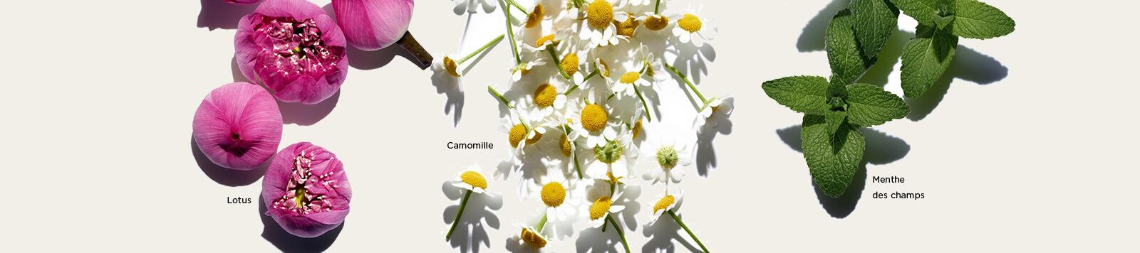 Visuels d'ingrédients Lotus, Camomille et Menthe des Champs.